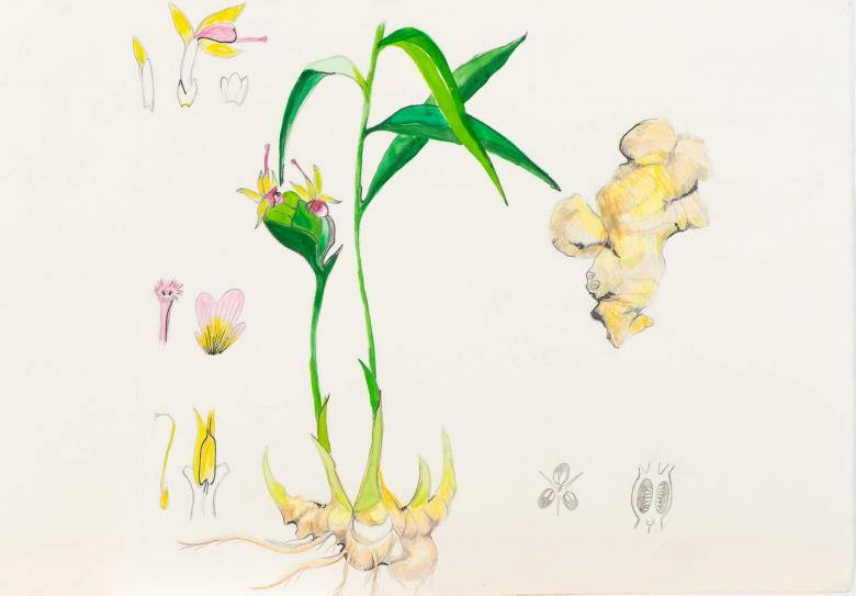 Plant Study. Gouache and ink on art paper, 13.2x19in - 33.5x48cm. Fig. 058
